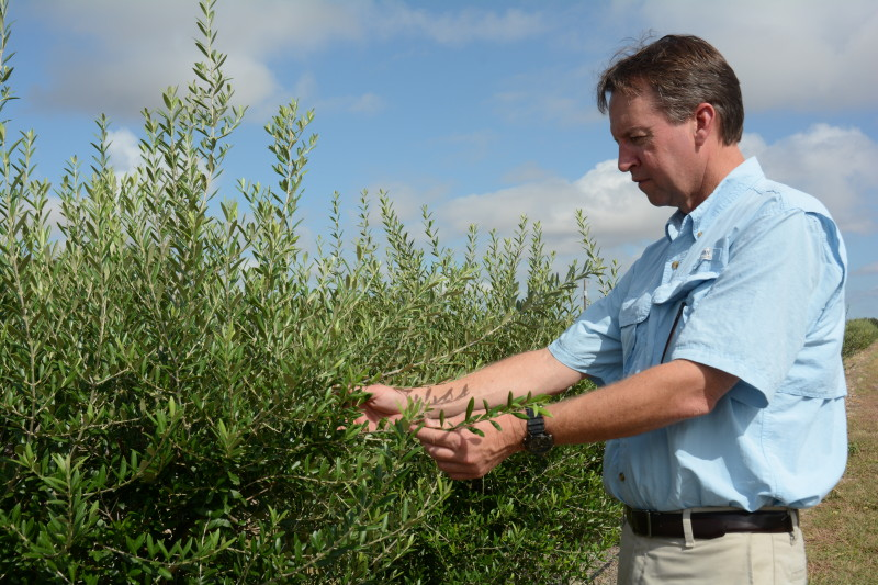 Texas Olive Oil Industry Is Growing Salud De Paloma