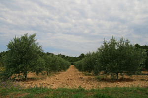 texas olive oil industry